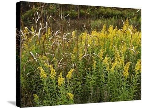 Goldenrods Near Dequeen, Arkansas, Usa-Tim Fitzharris-Stretched Canvas Print