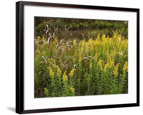 Goldenrods Near Dequeen, Arkansas, Usa-Tim Fitzharris-Framed Art Print