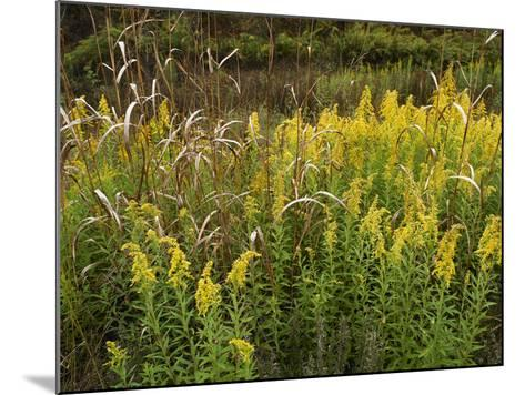 Goldenrods Near Dequeen, Arkansas, Usa-Tim Fitzharris-Mounted Photographic Print