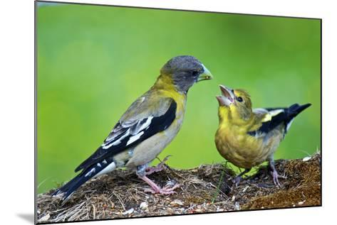 Young Evening Grosbeak Being Fed-Richard Wright-Mounted Photographic Print