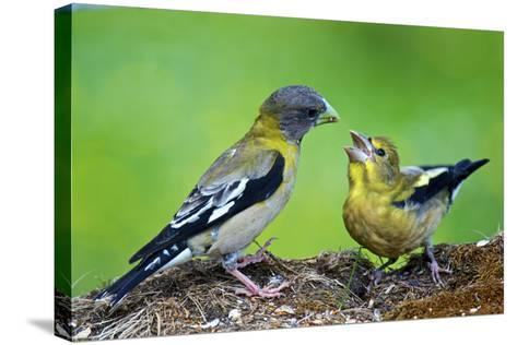 Young Evening Grosbeak Being Fed-Richard Wright-Stretched Canvas Print