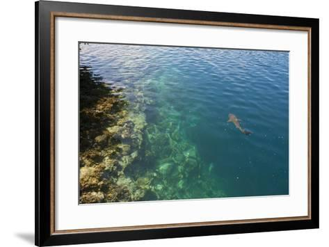 Black Tipped Sharks in the Crystal Clear Waters of the Marovo Lagoon, Solomon Islands, Pacific-Michael Runkel-Framed Art Print