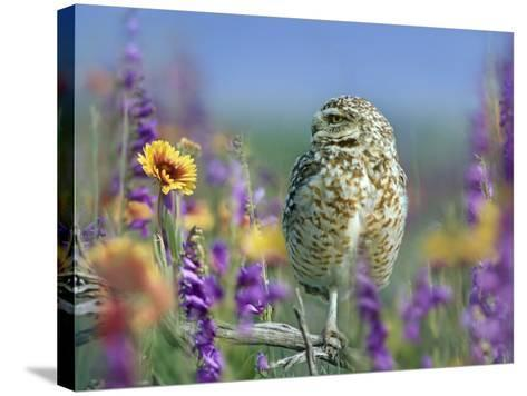 Burrowing Owl, New Mexico, Usa-Tim Fitzharris-Stretched Canvas Print