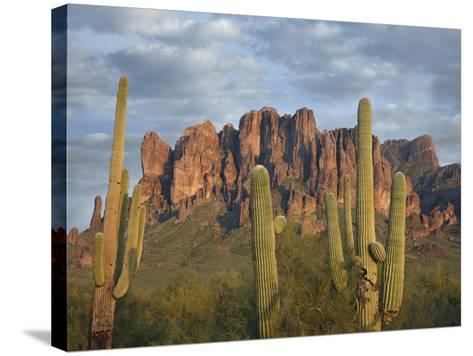 Saguaros and Superstition Mountains, Lost Dutchman State Park, Arizona, Usa-Tim Fitzharris-Stretched Canvas Print