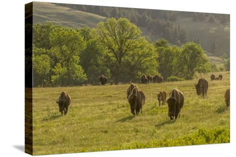 South Dakota, Custer State Park. Bison Herd in Field-Jaynes Gallery-Stretched Canvas Print