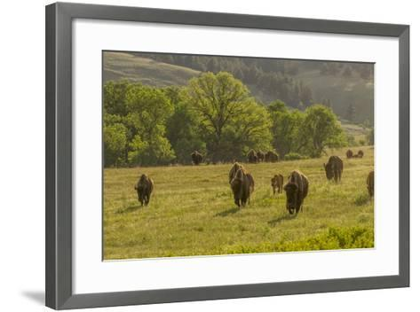 South Dakota, Custer State Park. Bison Herd in Field-Jaynes Gallery-Framed Art Print
