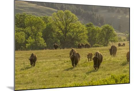 South Dakota, Custer State Park. Bison Herd in Field-Jaynes Gallery-Mounted Photographic Print