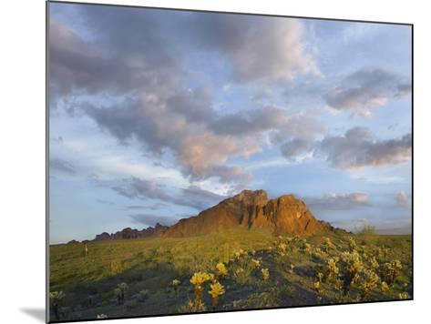 Kofa Mountain and Cholla Cactus at Sunset, Kofa National Wildlife Refuge, Arizona-Tim Fitzharris-Mounted Photographic Print
