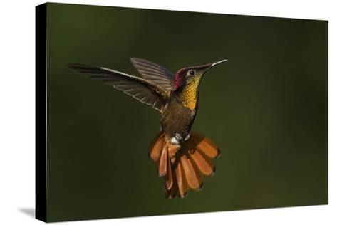 Ruby Topaz Hummingbird-Ken Archer-Stretched Canvas Print