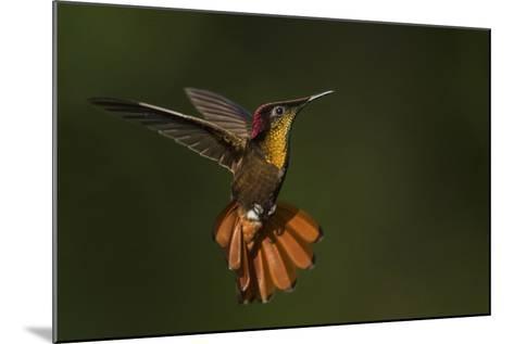 Ruby Topaz Hummingbird-Ken Archer-Mounted Photographic Print