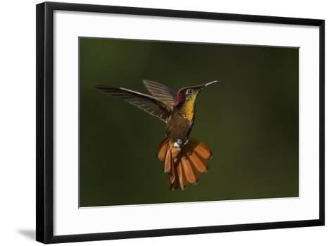 Ruby Topaz Hummingbird-Ken Archer-Framed Art Print