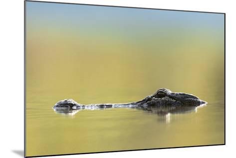 American Alligator, Florida, Usa-Tim Fitzharris-Mounted Photographic Print