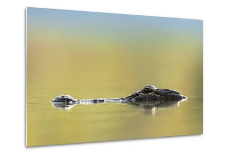 American Alligator, Florida, Usa-Tim Fitzharris-Metal Print