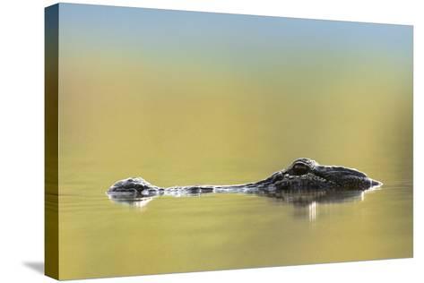 American Alligator, Florida, Usa-Tim Fitzharris-Stretched Canvas Print