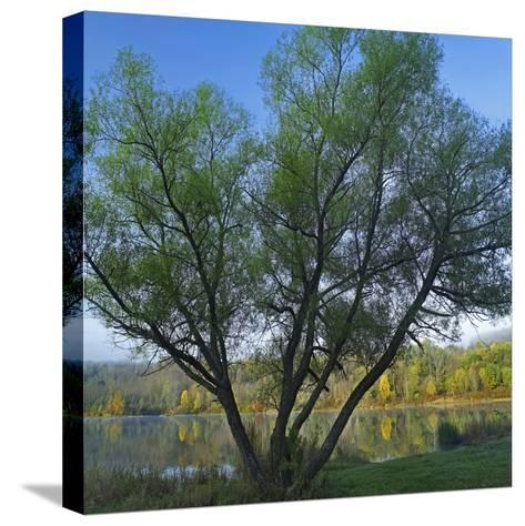 Willow Tree at Lackawanna Lake in Autumn, Lackawanna State Park, Pennsylvania, Usa-Tim Fitzharris-Stretched Canvas Print