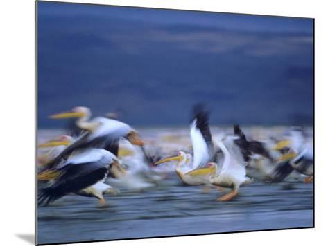 African White Pelicans, Lake Nakuru, Kenya-Tim Fitzharris-Mounted Photographic Print