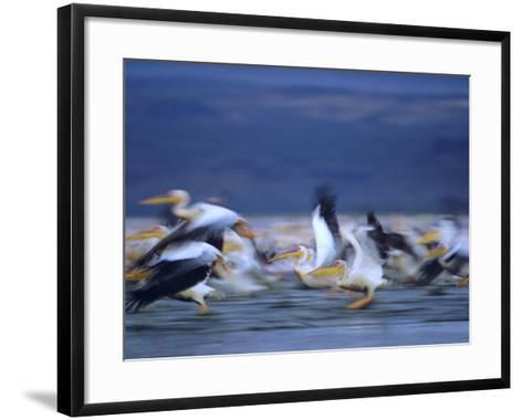 African White Pelicans, Lake Nakuru, Kenya-Tim Fitzharris-Framed Art Print