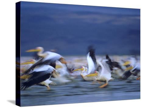 African White Pelicans, Lake Nakuru, Kenya-Tim Fitzharris-Stretched Canvas Print