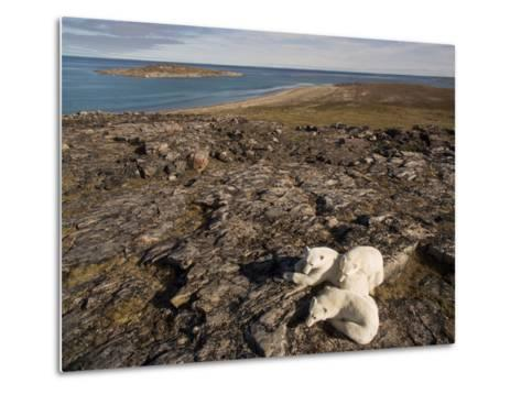 Polar Bear Resting with Cubs in Hills Above,Canada-Paul Souders-Metal Print