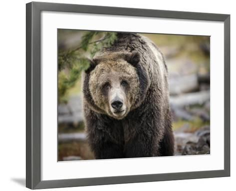 Brown Bear, Grizzly, Ursus Arctos, West Yellowstone, Montana-Maresa Pryor-Framed Art Print