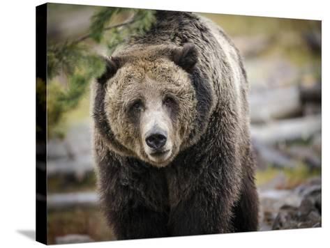 Brown Bear, Grizzly, Ursus Arctos, West Yellowstone, Montana-Maresa Pryor-Stretched Canvas Print
