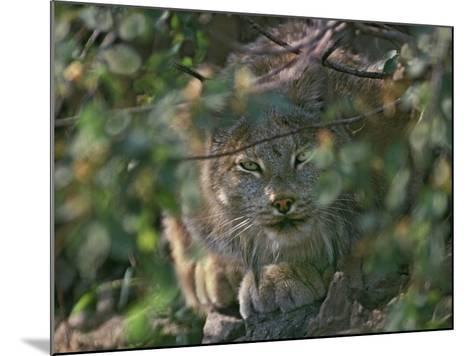 Canada Lynx Hiding in the Brush Preparing to Pounce, Montana, Usa-Tim Fitzharris-Mounted Photographic Print