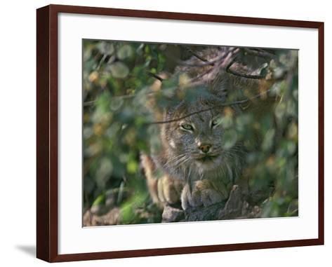 Canada Lynx Hiding in the Brush Preparing to Pounce, Montana, Usa-Tim Fitzharris-Framed Art Print