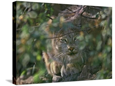 Canada Lynx Hiding in the Brush Preparing to Pounce, Montana, Usa-Tim Fitzharris-Stretched Canvas Print