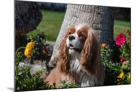 Cavalier Sitting in a Flowerbed-Zandria Muench Beraldo-Mounted Photographic Print