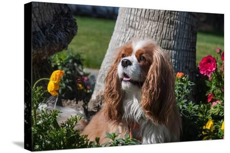 Cavalier Sitting in a Flowerbed-Zandria Muench Beraldo-Stretched Canvas Print
