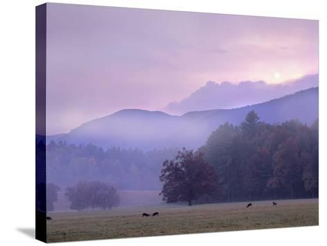 White-Tailed Deer at Cades Cove, Great Smoky Mountains National Park, Tennessee, Usa-Tim Fitzharris-Stretched Canvas Print