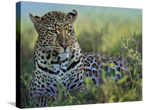 Leopard Resting after Eating, Kenya, Africa-Tim Fitzharris-Stretched Canvas Print