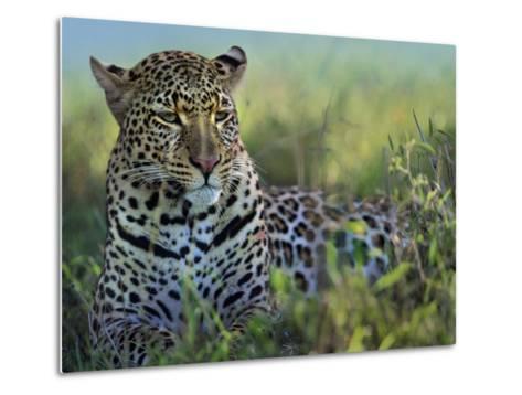 Leopard Resting after Eating, Kenya, Africa-Tim Fitzharris-Metal Print
