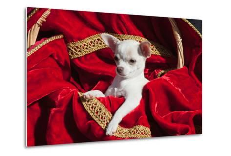Chihuahua Puppy Surrounded in Red and Gold-Zandria Muench Beraldo-Metal Print