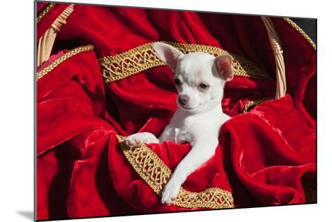 Chihuahua Puppy Surrounded in Red and Gold-Zandria Muench Beraldo-Mounted Photographic Print