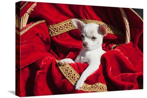 Chihuahua Puppy Surrounded in Red and Gold-Zandria Muench Beraldo-Stretched Canvas Print