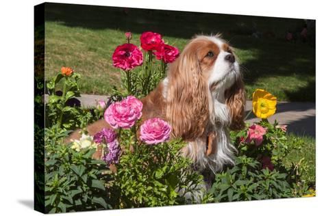 Cavalier Sitting in a Flowerbed-Zandria Muench Beraldo-Stretched Canvas Print