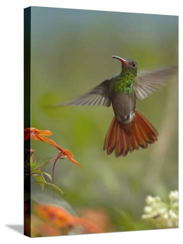 Rufous-Tailed Hummingbird-Tim Fitzharris-Stretched Canvas Print