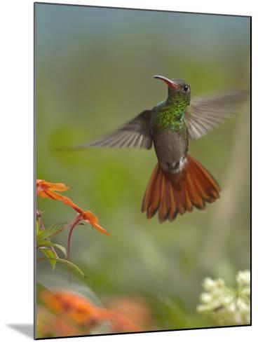 Rufous-Tailed Hummingbird-Tim Fitzharris-Mounted Photographic Print