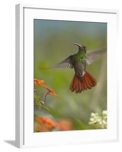 Rufous-Tailed Hummingbird-Tim Fitzharris-Framed Art Print