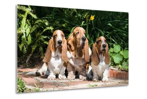 Basset Hounds Sitting on Garden Pathway-Zandria Muench Beraldo-Metal Print