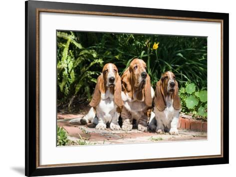 Basset Hounds Sitting on Garden Pathway-Zandria Muench Beraldo-Framed Art Print