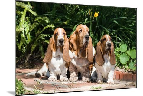 Basset Hounds Sitting on Garden Pathway-Zandria Muench Beraldo-Mounted Photographic Print