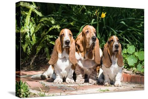 Basset Hounds Sitting on Garden Pathway-Zandria Muench Beraldo-Stretched Canvas Print