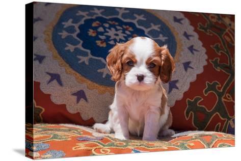 Cavalier King Charles Spaniel Puppy-Zandria Muench Beraldo-Stretched Canvas Print