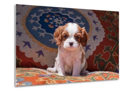 Cavalier King Charles Spaniel Puppy-Zandria Muench Beraldo-Metal Print
