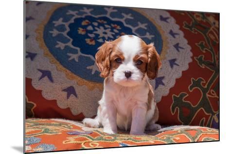 Cavalier King Charles Spaniel Puppy-Zandria Muench Beraldo-Mounted Photographic Print