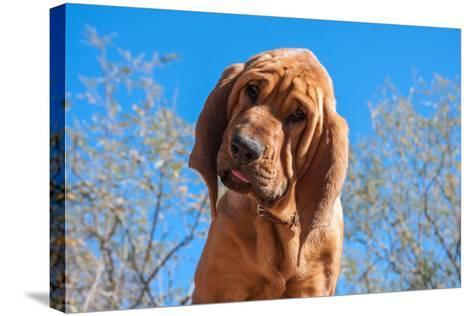 Bloodhound Puppy-Zandria Muench Beraldo-Stretched Canvas Print