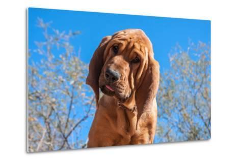 Bloodhound Puppy-Zandria Muench Beraldo-Metal Print