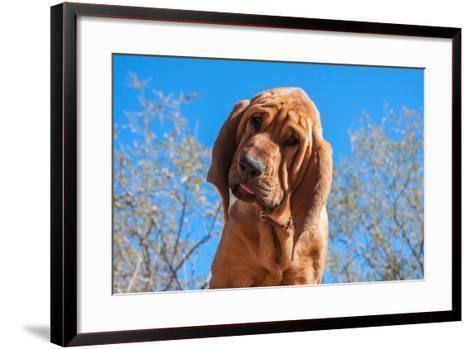 Bloodhound Puppy-Zandria Muench Beraldo-Framed Art Print